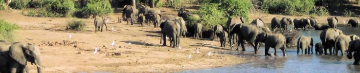 elephants at lake shore