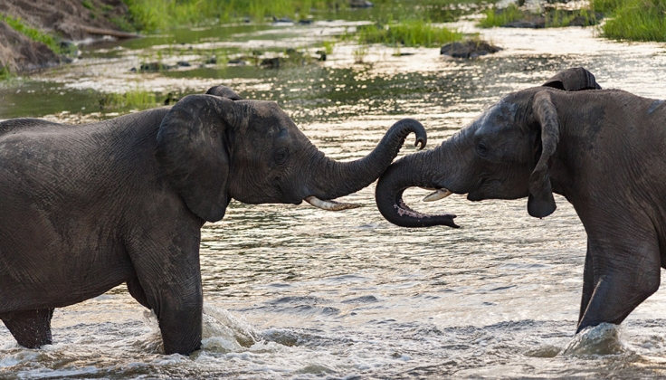 two elephants standing in a river