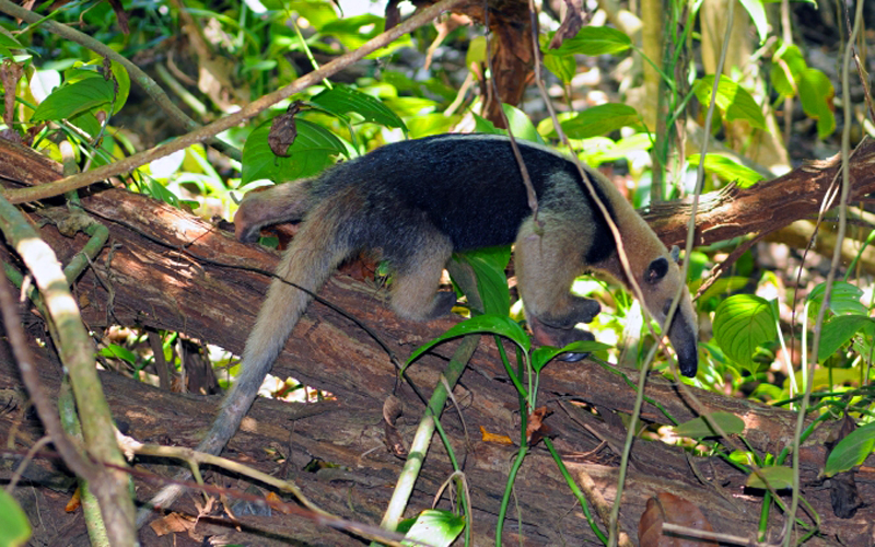 ant-eater-use