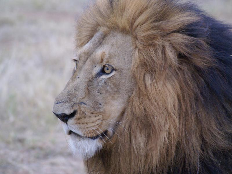 Exotic Lion from Okavango Delta