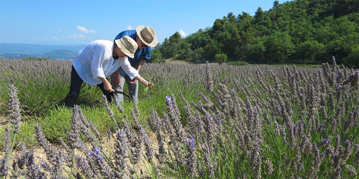havesting lavender in provence