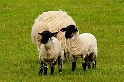 Irish Lambs