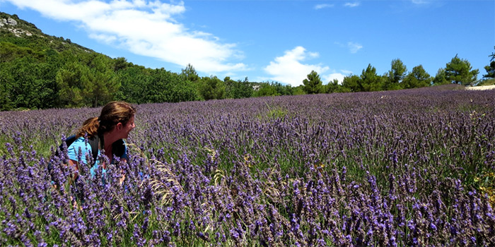 lavender field in full bloom - provence