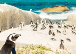 South Africa Penguins