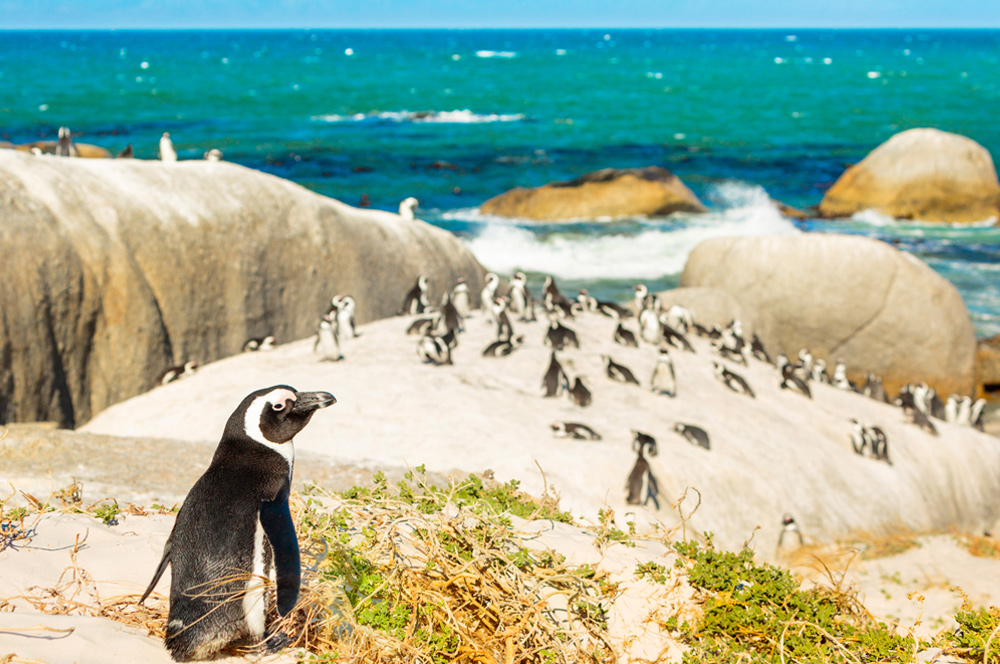South African Penguins