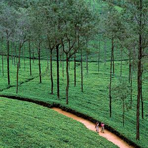 Tea Fields width=