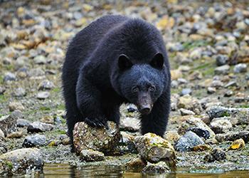 Black Bears in Vancouver