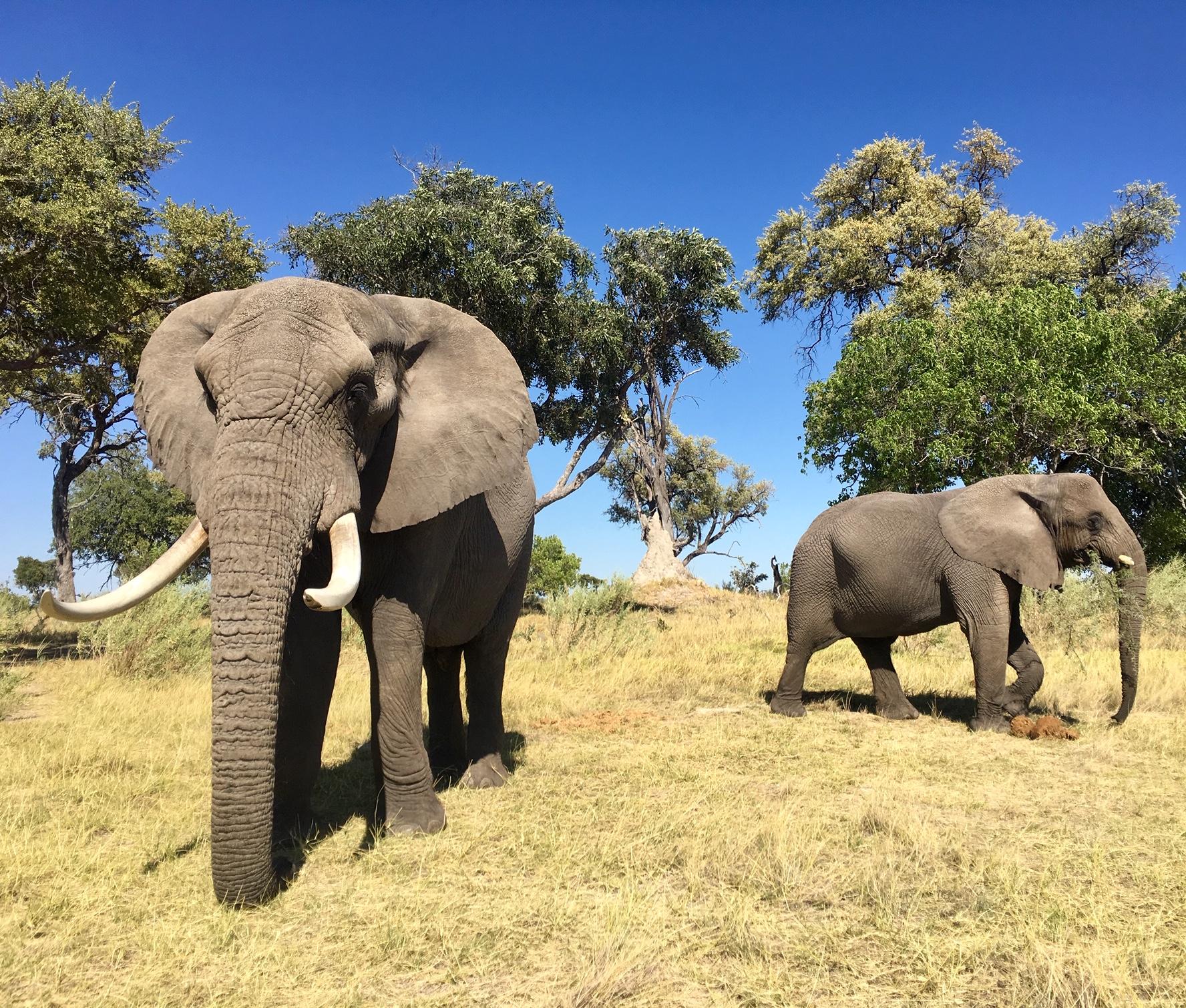 Strolling 'Hand-in-Trunk' in Botswana 5